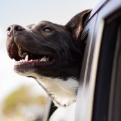 The ideal trucker companion: a dog's life on the road