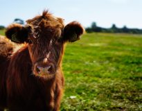 Cattle truck becomes vehicle for animal liberation